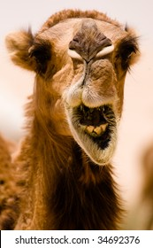 """A camel shows some teeth seems to be """"shouting"""" in a close-up while it's eating in the Syrian desert."""