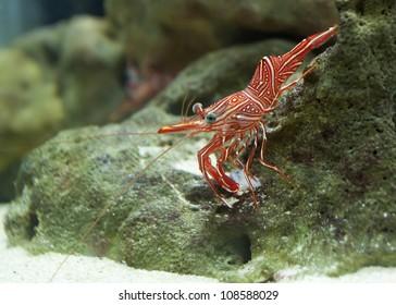 Camel Shrimp (Rhynchcinetes durbanensis)