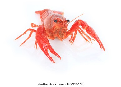 Camel Shrimp (Rhynchcinetes durbanensis) Crayfish red lobster on white background