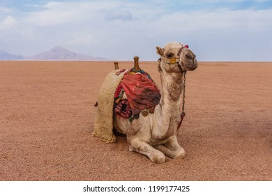 Camel in the Sinai Desert, Sharm el Sheikh, Sinai Peninsula, Egypt.