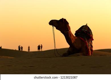 Camel sit on the sand of Thar desert , Jaisalmer, India