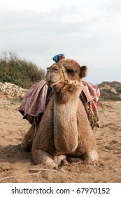 Camel sits with a colorful saddle on the sand
