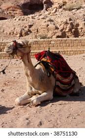 A camel sitting in dry desert heat