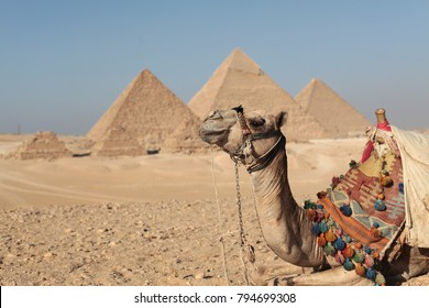 Camel sitting in front of the Great Pyramids of Giza in Egypt