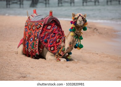 Camel sitting on a sea beach in Egypt, Sharm-El-Sheikh