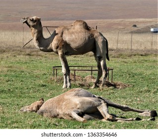 Camel in South Africa