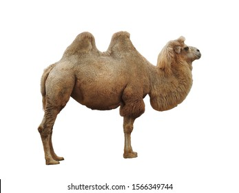 Camel standing isolated on white