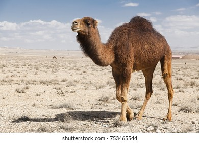 The camel stands in the desert