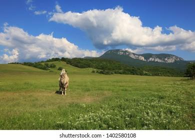 Camel stands in a summer field in a beautiful landscape in the Crimea