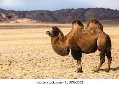 Camel in the steppe of Western Mongolia foothills.