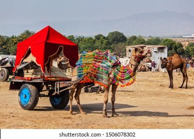 Camel taxi.  Decorated camel in a cart. Pushkar Mela (Pushkar Camel Fair). Pushkar, Rajasthan, India