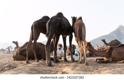 Camel and their traders during the pushkar fair : Pushkar, Rajasthan/India - Oct 2017