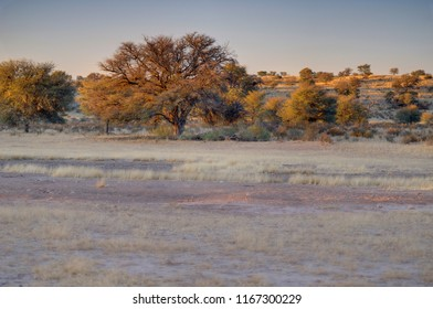 CAMEL THORN and DESERT TEXTURES.  Kgalagadi in winter colours, northern Cape, South Africa.