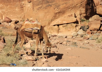 Camel is tired up in Lawrence Springs next to the Chazly inscriptions estimated at 3000 years old. Right side. Wadi Rum valley in Jordan.