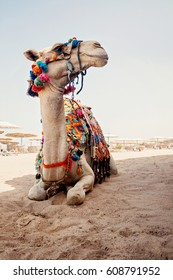 camel for tourist trips is in the sand on the beach in Egypt.