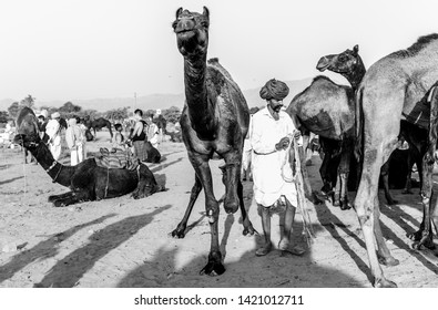 Camel trader in red pagadi (Turban) taking care of his camels in Pushkar camel fair : Pushkar, Rajasthan/India - Oct 2017