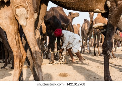 Camel trader taking care of his camels in Pushkar camel fair : Pushkar, Rajasthan/India - Oct 2017