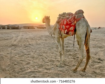 The camel turn back and look at the beautiful sunset in the Sealine desert, Doha, Qatar.