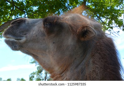 Camel  is an ungulate within the genus Camelus, bearing distinctive fatty deposits known as humps on its back. There are 2 species of camels: the dromedary l has a 1 hump, and the bactrian has 2 humps