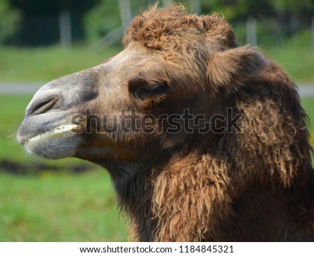 Camel Is An Ungulate Within The Genus Camelus Bearing Distinctive Fatty Deposits Known As Humps