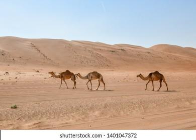 Camel in Wahiba Sands Oman
