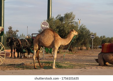 Camel waiting for the rider in Marrakech