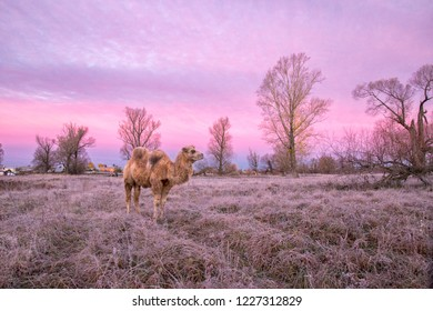 Camel walk in the frosty morning
