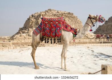 Camel for a walk with ornate saddle closeup , Giza, Cairo, Egypt