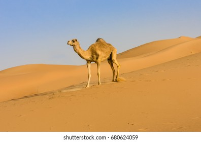 Camel walking  in Liwa Oasis the largest oasis area in Abu Dhabi, United Arab Emirates