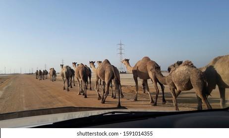 camel walking on te desert road
