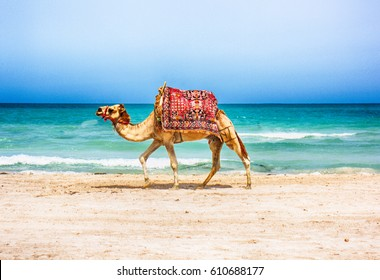 camel is walking on the tunisian beach