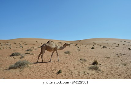 Camel walking in the sand desert