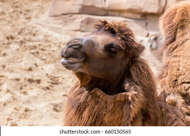 Camel in zoo, headshot. The Netherlands