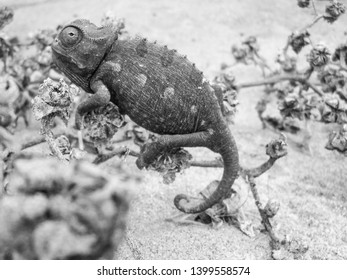 Cameleon in a sand dune