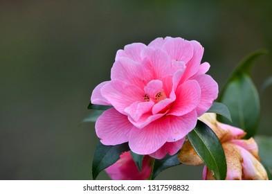 Camelia, Camellia sinensis, camelia tree