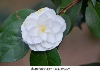 Camelia, Camellia sinensis, white camelia