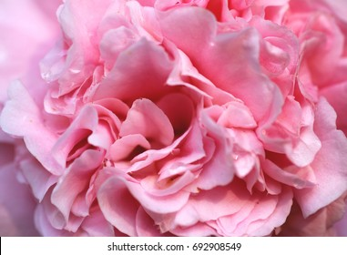 Camelia flower background macro