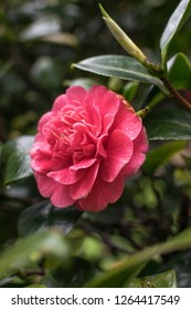 camelia flower in blossom is very romantic for valentine´s day lovers