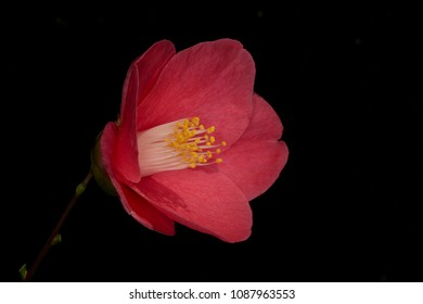 Camelia flower closeup