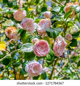 Camelia flowers in blossom during springtime in Galicia, northern Spain