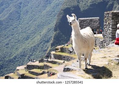 Camelids in Macchu Picchu