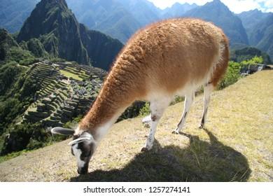 Camelids in Machu Picchu