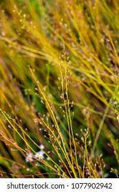 Camelina sativa plants with ripe seeds