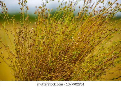 Camelina sativa plants with ripe seeds