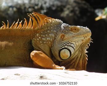 camelion reptile closeup