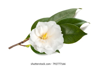 camellia branch  with flower isolated on white
