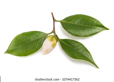 camellia branch with leaves and bud isolated on white