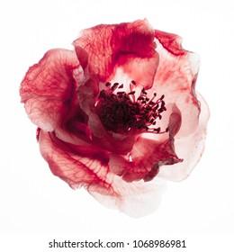 camellia dry flower
