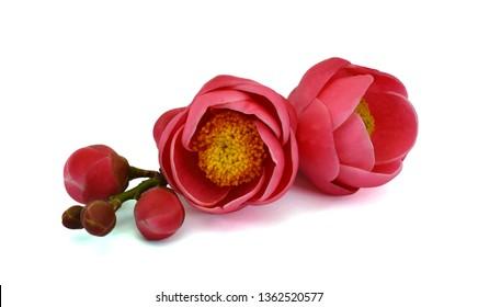 Camellia flower (Camellia amplexicaulis flower) isolated on white background