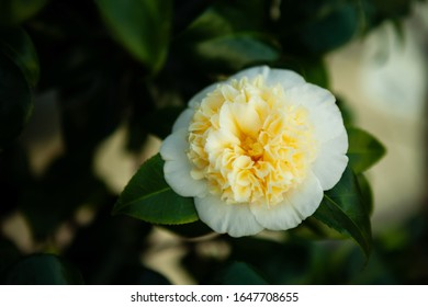 Camellia flower, blooming in February, Uk